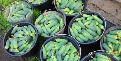 Чудо-подкормка для огурцов для тех, кому нужен богатый урожай...