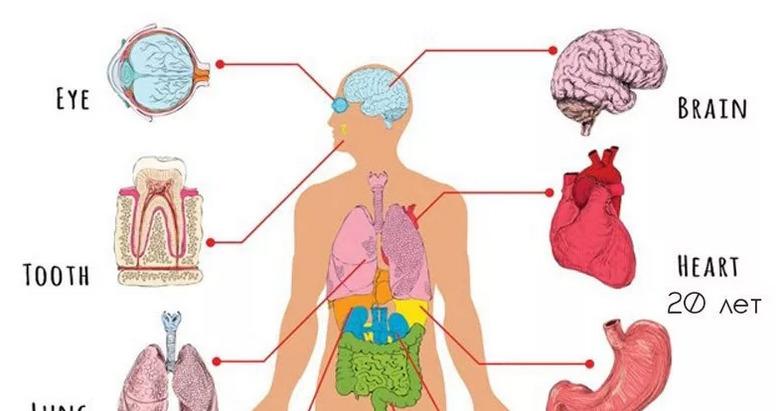 Периодичность обновления организма человека